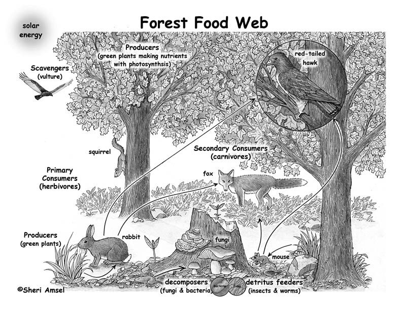 boreal forest food pyramid Google Search Forest