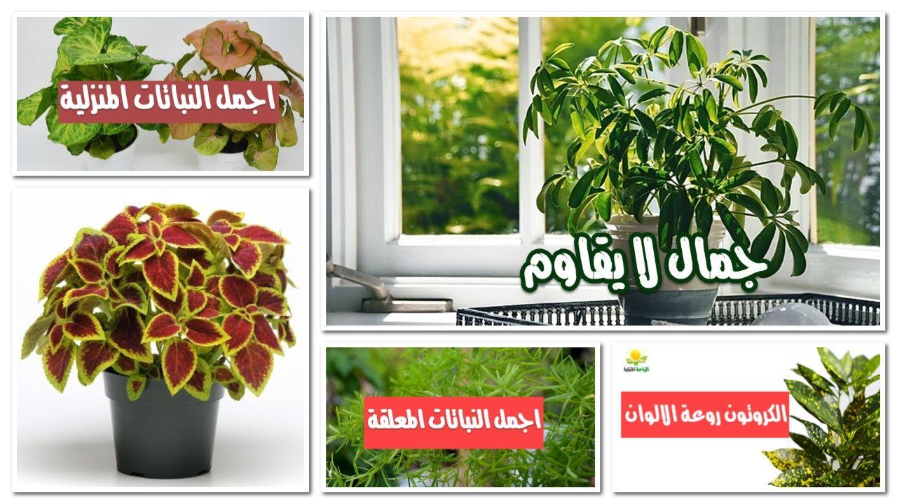 نباتات الزينة الداخلية Plants