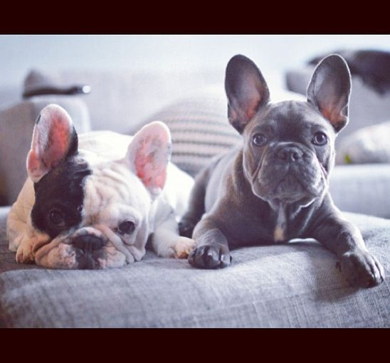 Manny And Frank Are The Cutest Frenchie Brothers Of Instagram