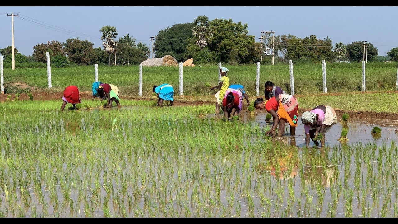 Rice Farming Complete Guide from Seeds to Harvest, Tamil