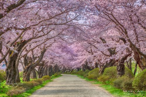 Tunnel Of Cherry Blossoms By Aouei Japan Beautiful Tunnel Scenery Views Fantastic Amazing Scenic Breathtak Cherry Blossom Breathtaking Places Beautiful Places