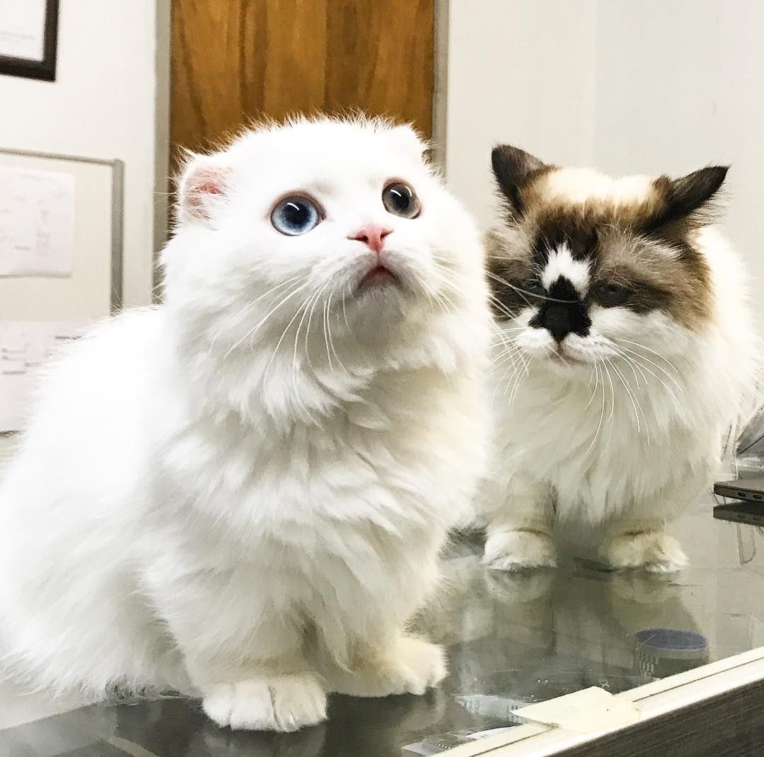Albert Is Not Pleased With Goyanggy Cats Pinterest - Meet albert the cutest munchkin cat on the internet