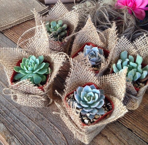 Succulent Favors Wrapped In Hessian Succulents Succulent