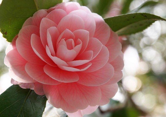 Camellia Show Flowers Camellia Flower Camellia