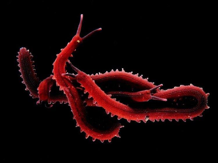 Velvet Worms, Hamburg, Germany   NatGeo Photographer