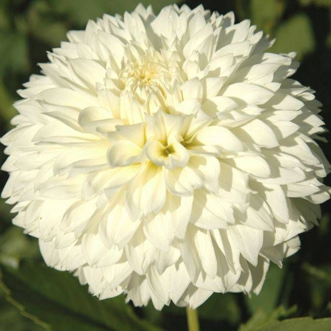 GITTS ATTENTION (BBID) Introduced In 2000. This Variety Is A Top Quality  Exhibition