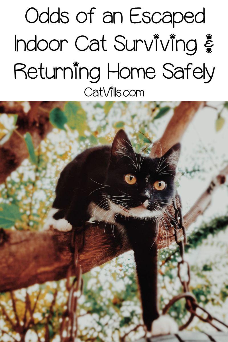 Odds Of An Escaped Indoor Cat Surviving Returning Home Safely Indoor Cat Cats Cat Behavior