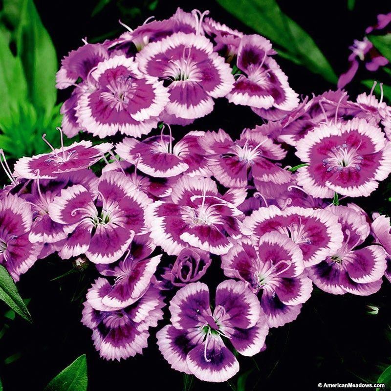 Dianthus Purple Picotee American Meadows Plants For Small Gardens Plants Dianthus Barbatus