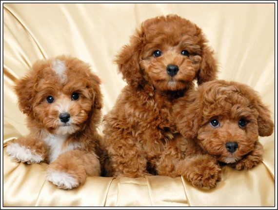 4 Dog Puppy Apricot Poodle Puppies Dogs Greeting By Asliceintime