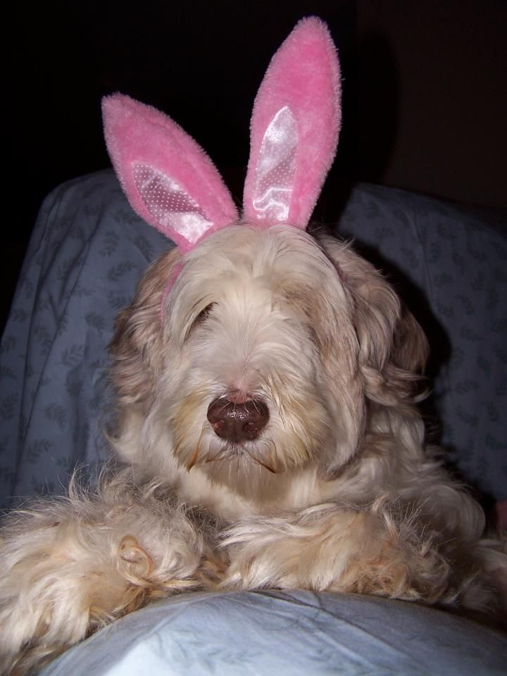 Miss Holly B. Collie....Easter bunny!!