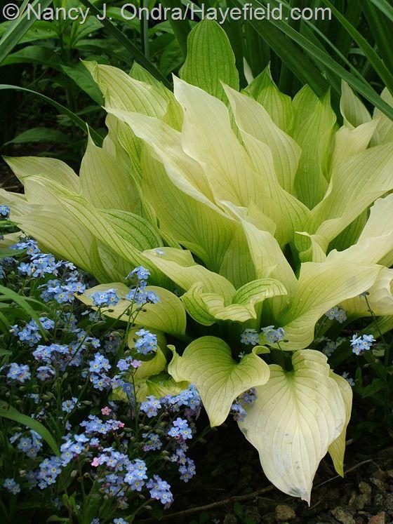 занятия развитию глоксинии хосты лилии фото показывает пизду