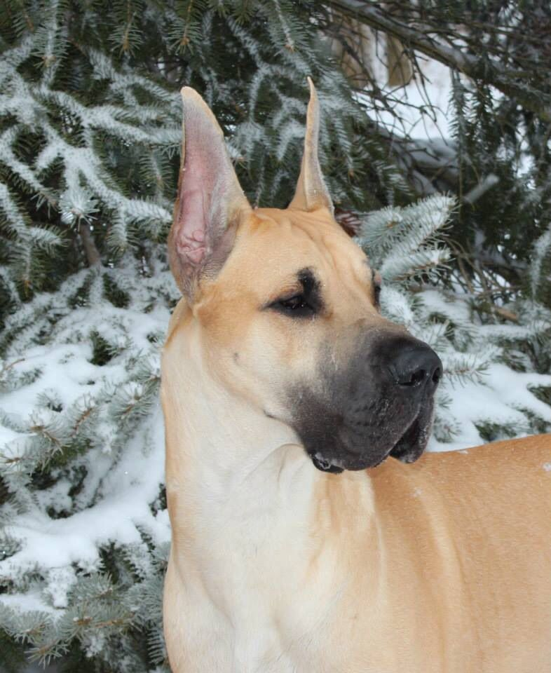 Great Dane Dog Art Portraits Photographs Information And Just