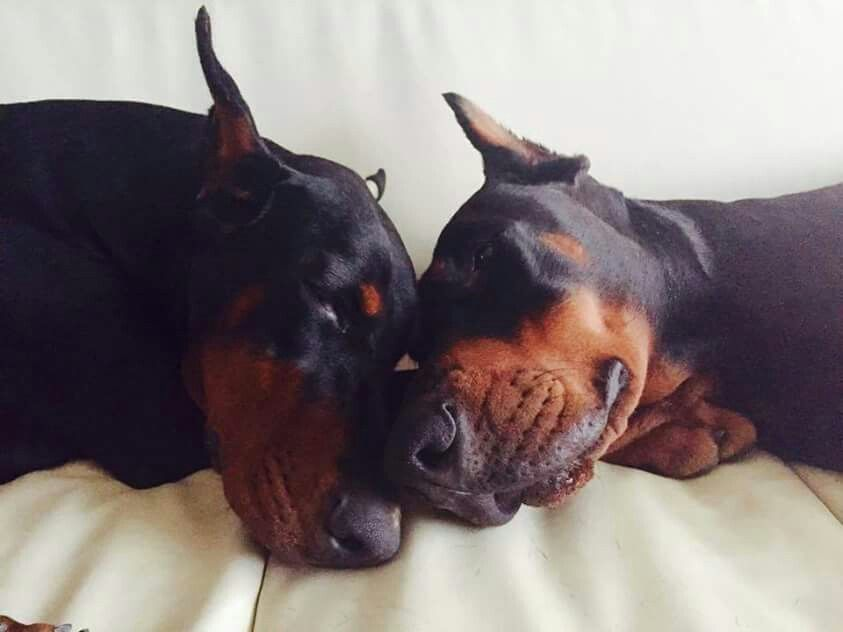 #Doberman #dogs