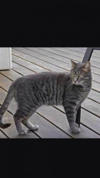 Lost Cat Buckland Queensland Qld Australia L30580 Lost Cat Pets Cats