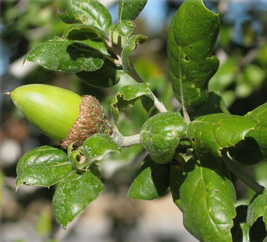 Quercus Lobata Acorn