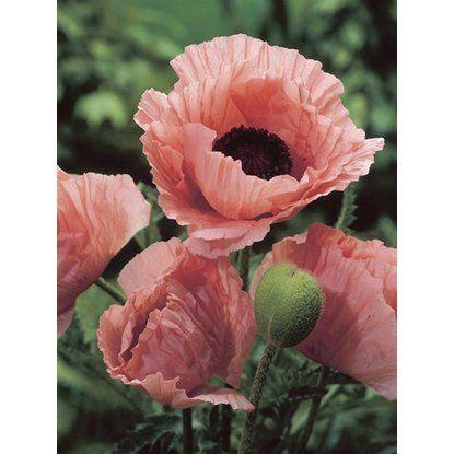 Keleti Mak Helen Elisabeth Rozsaszin Cserepatmero Kb 9 Cm X 9 Cm Papaver Mohn Rosafarbene Bluten Blumen