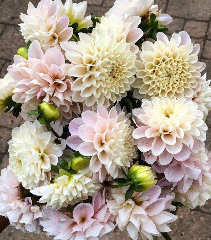 Unicorn Blooms 2018 Dahlia Order Dahlia, Bloom, Flowers