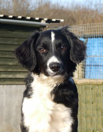How Can You Not Love This Face Border Collie Spaniel Collie Rassen