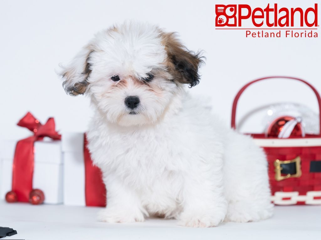 Petland Florida Has Teddy Bear Puppies For Sale Check Out All Our