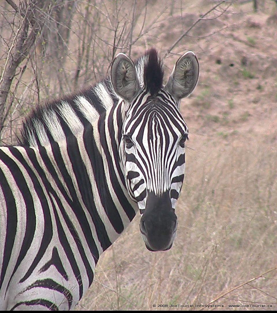 Zebra head | Cute animal pictures, Zebra, Animal pictures