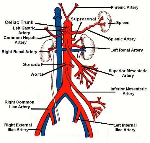 pin by jack mankin on biology arteries anatomy, abdominal aortaabdominal aorta, arteries anatomy, carotid artery, vascular ultrasound, arteries and veins,