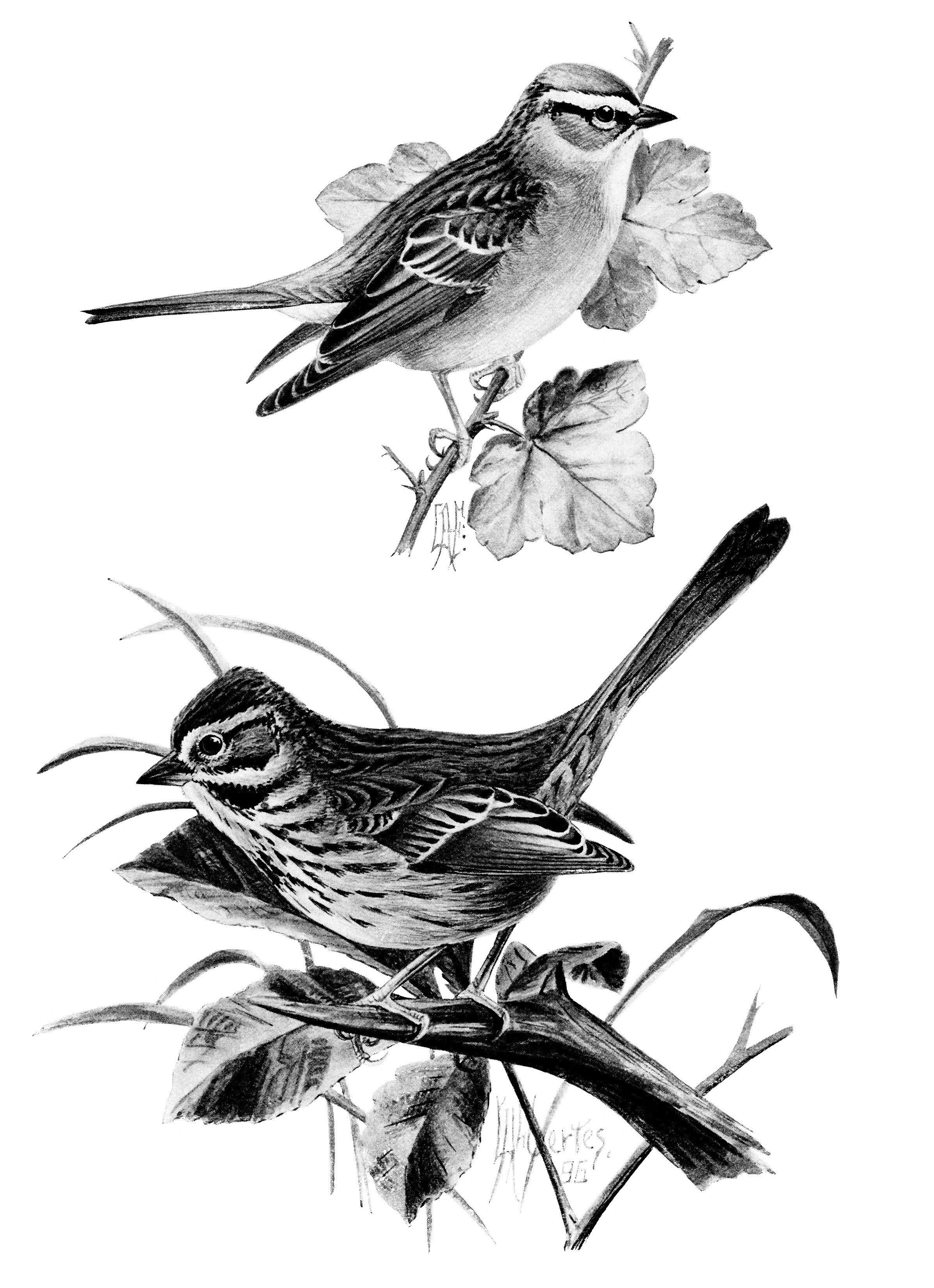 Vintage Bird Clip Art Song Sparrow Chipping Sparrow