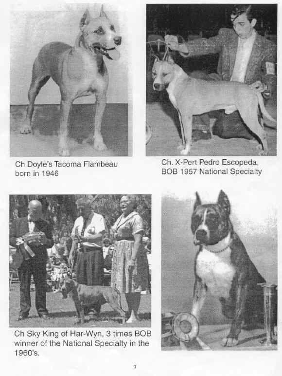 old tyme staffy | Pitbull terrier, Bull terrier, Pitbulls  |American Pit Bull Terrier Vintage