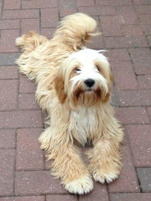 Image result for tibetan terrier Terrier mix Tibetan