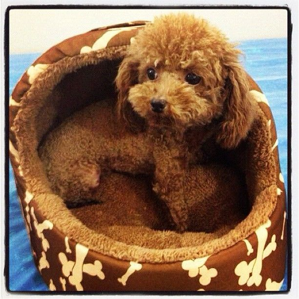 Super Cute Toy Poodle!