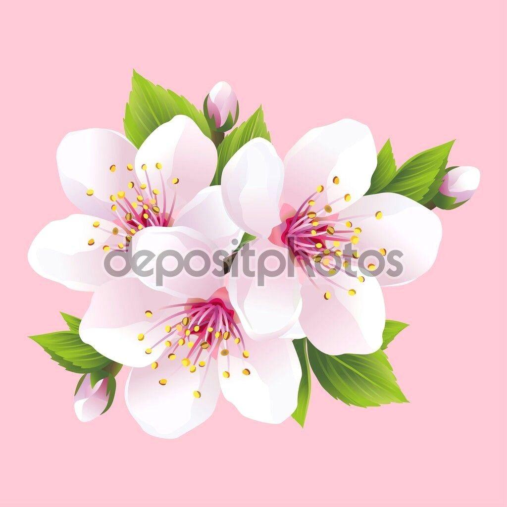 Cerisier Du Japon Dessin