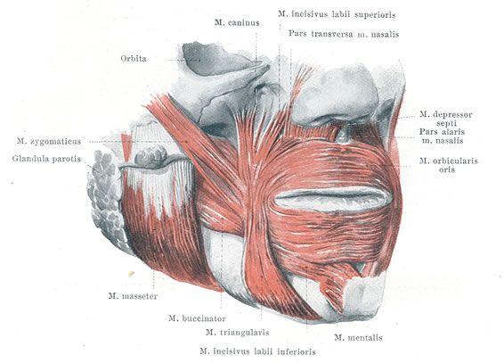 Lower Facial Muscles - Details | Anatomía humana | Pinterest