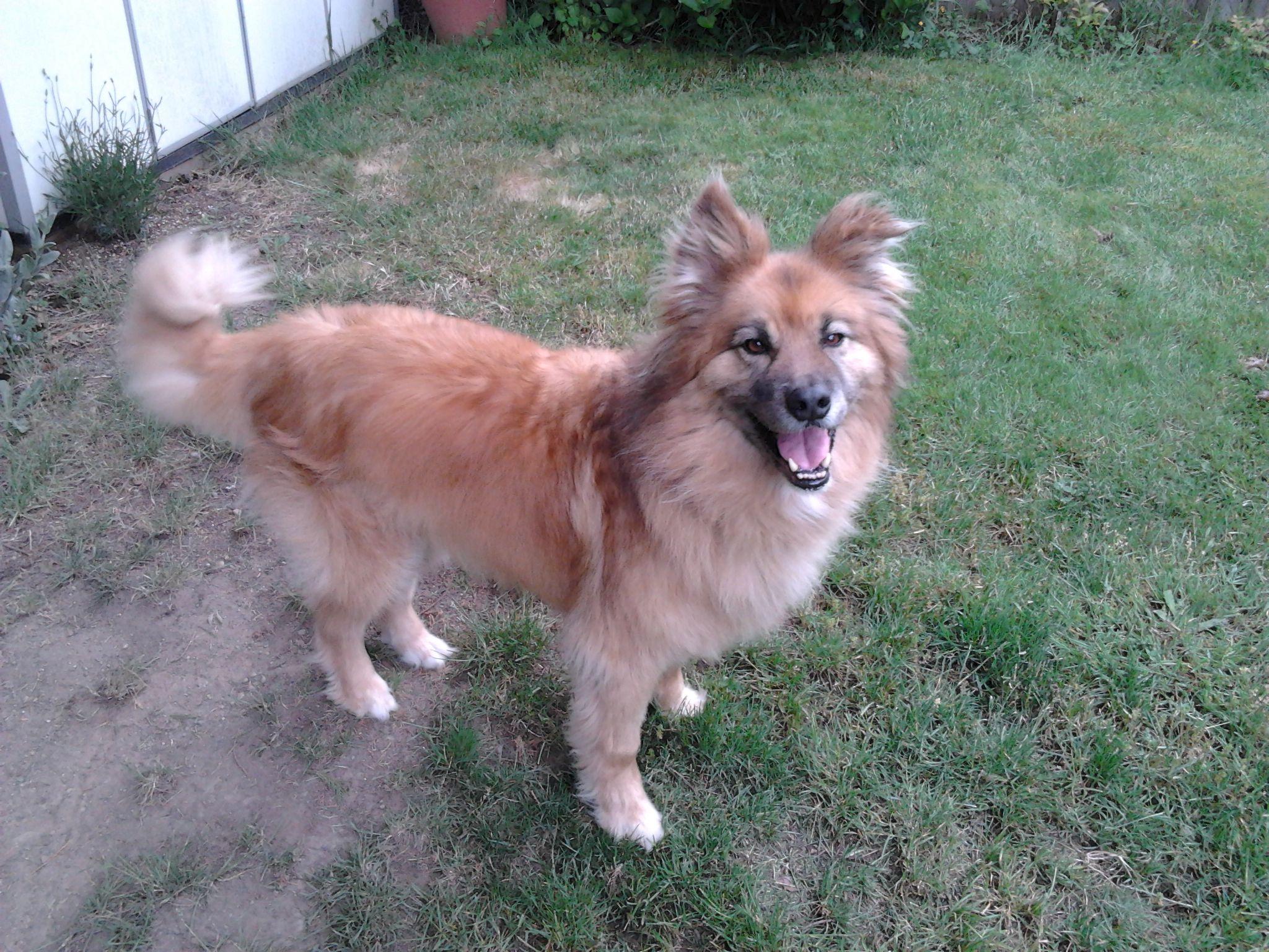 Jake My Dog Full Length Fur Chow Australian Shepherd Mix