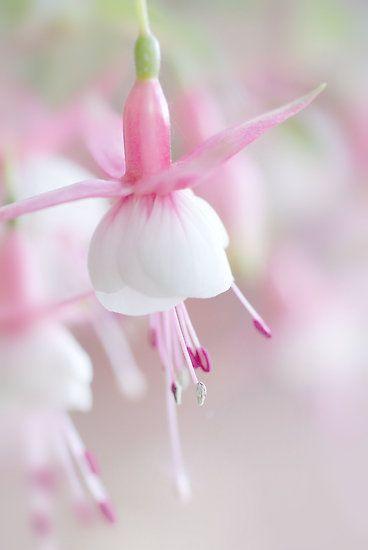 White Fuschia ~ looks like a ballerina