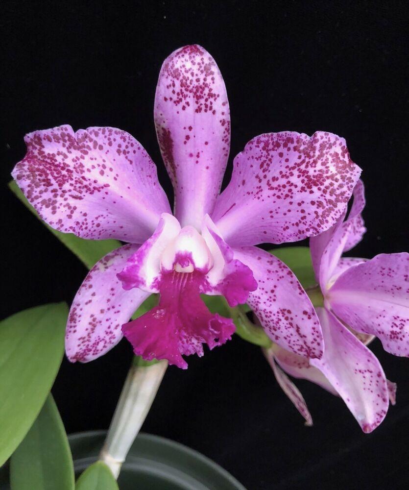 Cattleya Blc Pauwela Polka Dots X C Interglossa Purple Spots Windowsill 4 Inch Cattleya Orchid Cattleya Orchids