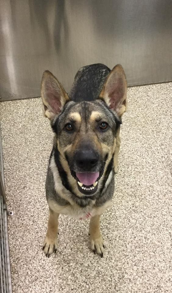 German Shepherd Dog Dog For Adoption In Martinsburg Wv Adn