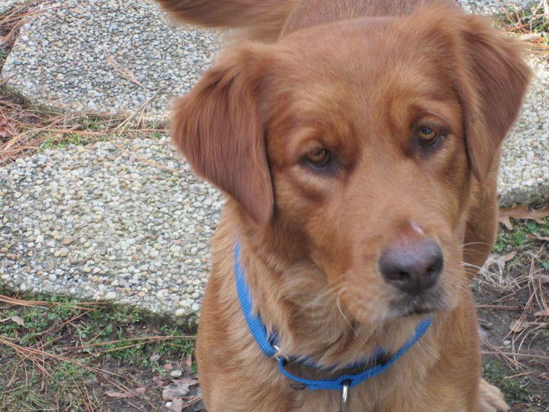 Adopt Winter On Golden Retriever Rescue Dogs Golden Retriever Dogs