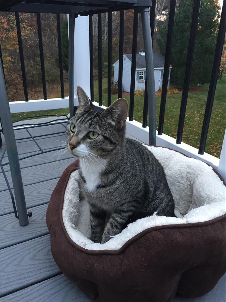 Reunited Cat Name Unknown Tabby Enfield, CT, United