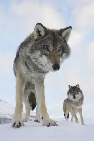 how big are grey wolves