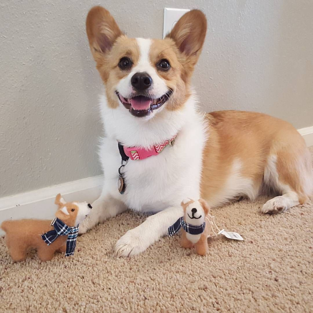 Life According To Zuri Got Two Of The Coveted Corgi Christmas