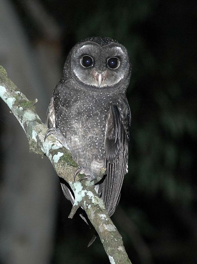 Greater Sooty Owl Tyto Tenebricosa Photo By Richard