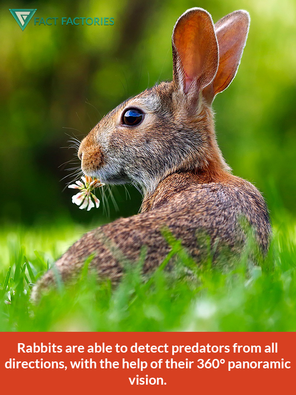 Rabbits can see predators from all directions (With images