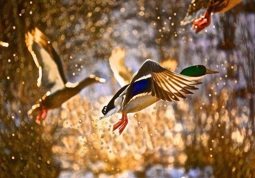 Duck Wallpaper By Qaisar Nasir On Adobe Photoshop Animals
