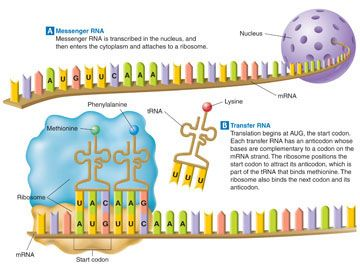 diagram of protein synthesis biology, protein, coding, flatware, place  settings, shun