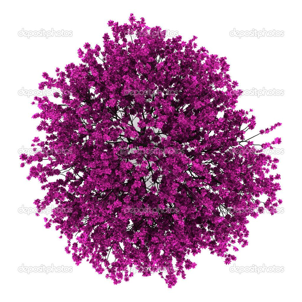 Top view plants 02 2d plant entourage for architecture - Top Tree Top View Of Judas Tree Isolated On White Background Stock Photo