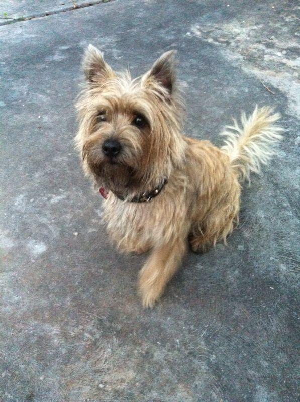Cairn Terrier Cairn Terrier Terrier Dogs Terrier Puppies