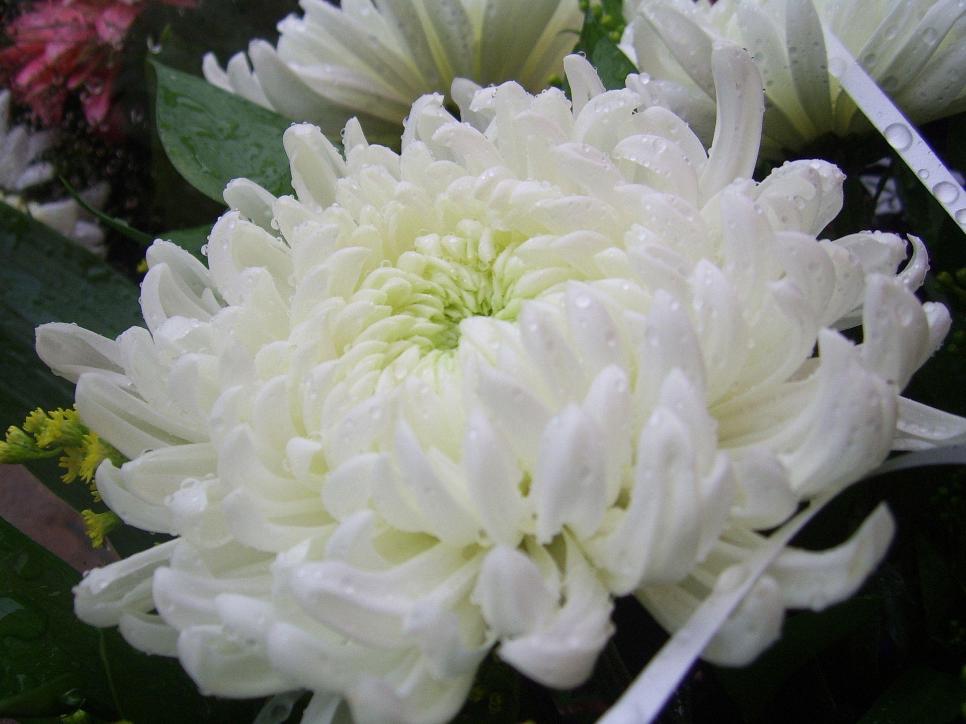 Chrysanthemum Flower Of The Month For November Chrysanthemums