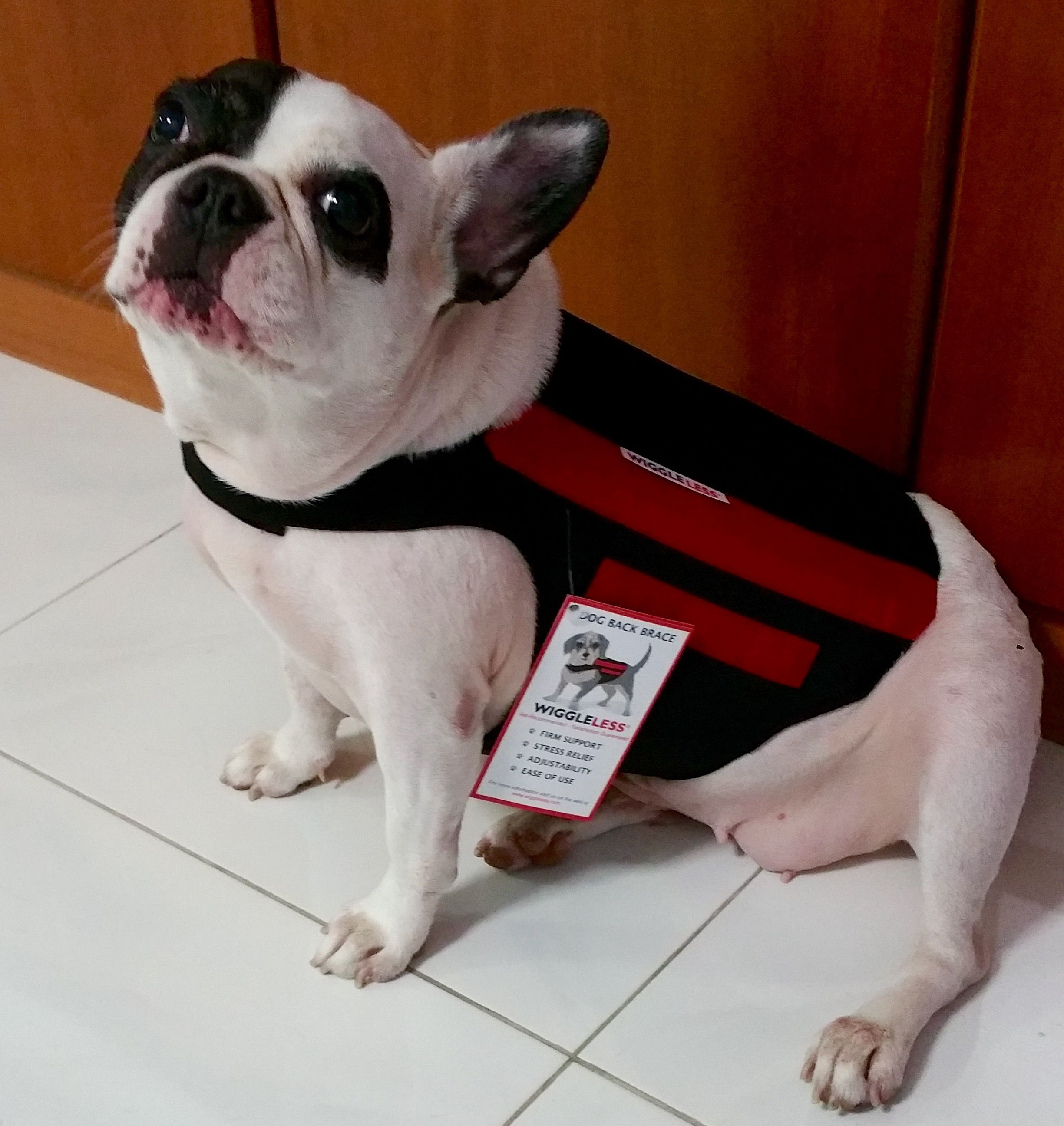 Hamlet Gets A Wiggleless Dog Back Brace In Singapore For His Aging