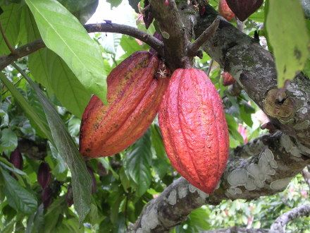 Pods Courtesy of World Cocoa Foundation - Cacao