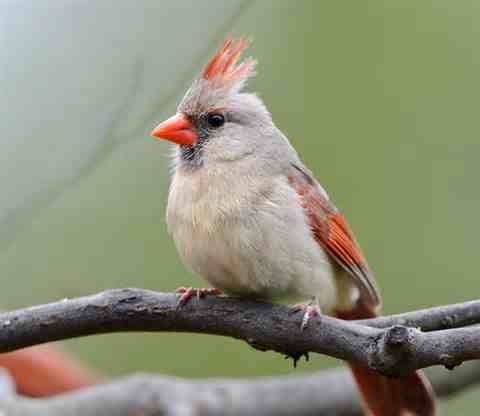 Pied Cardinal Had A Family Nest In My Yard Each Year The White Decreased In The Offspring Until The Birds Were Backyard Birds Colorful Birds Audobon Birds