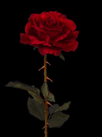 Rosas Png Tumblr Pesquisa Google Black Roses Wallpaper Black Rose Picture Black Rose